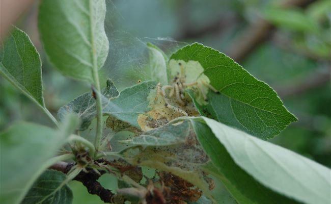 Листовертка на яблоне — как с ней бороться, чтобы не потерять урожай