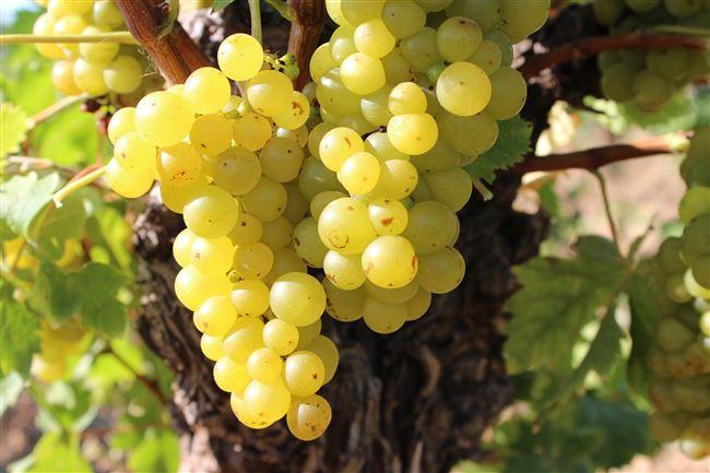 Лучшие сорта мускатного винограда – описание и характеристики