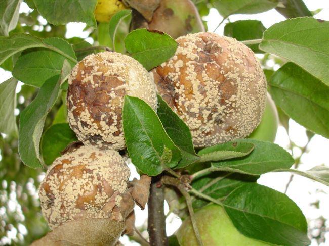 Методы лечения яблони от монилиоза