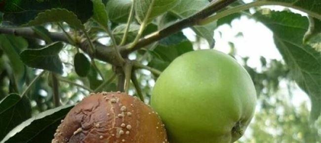 Моллиноз или плодовая гниль, когда плоды начинают темнеть