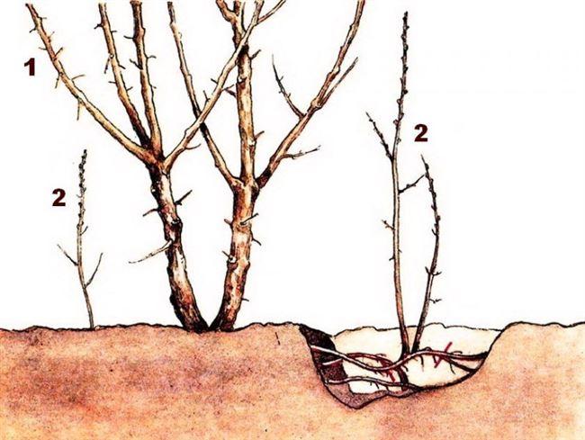 Можноли вырастить сливу изпоросли ибудетли она плодоносить