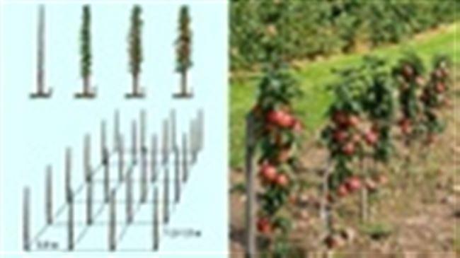 Можно ли сажать колоновидную яблоню одну?