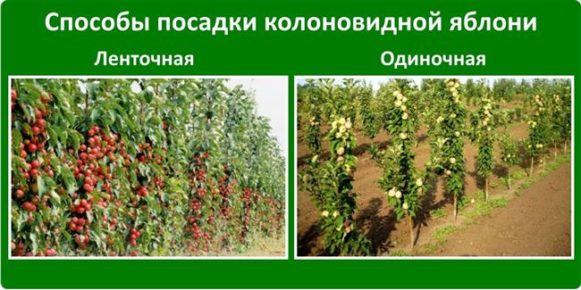 Можно ли сажать колоновидные яблони разных сортов рядом