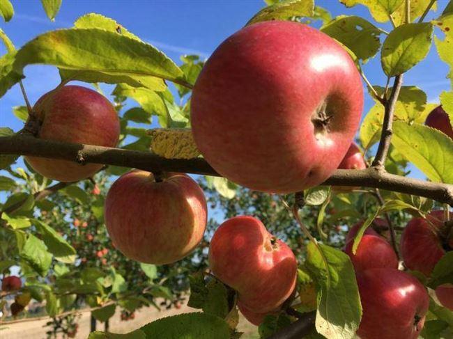Неплодоносящая яблоня