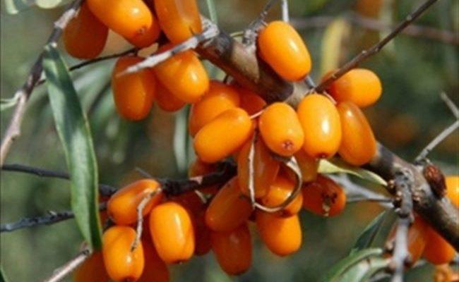 Облепиха Алтайская — сладкий аромат из Сибири