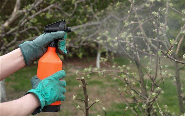 Обработка яблоней от вредителей