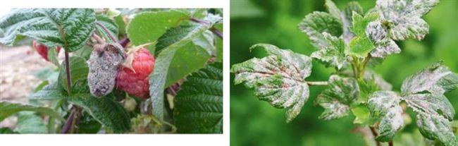 Обработка малины осенью