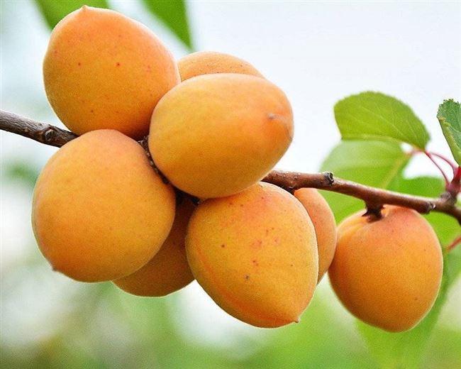 Обрезка абрикоса Шалах