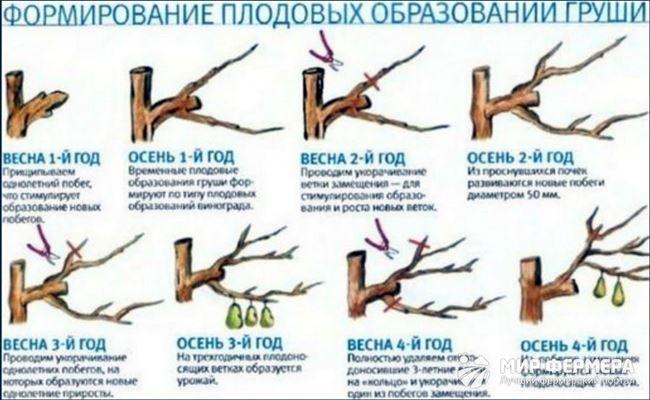 Обрезка груши весной для начинающих: схемы, правила, пошаговые инструкции