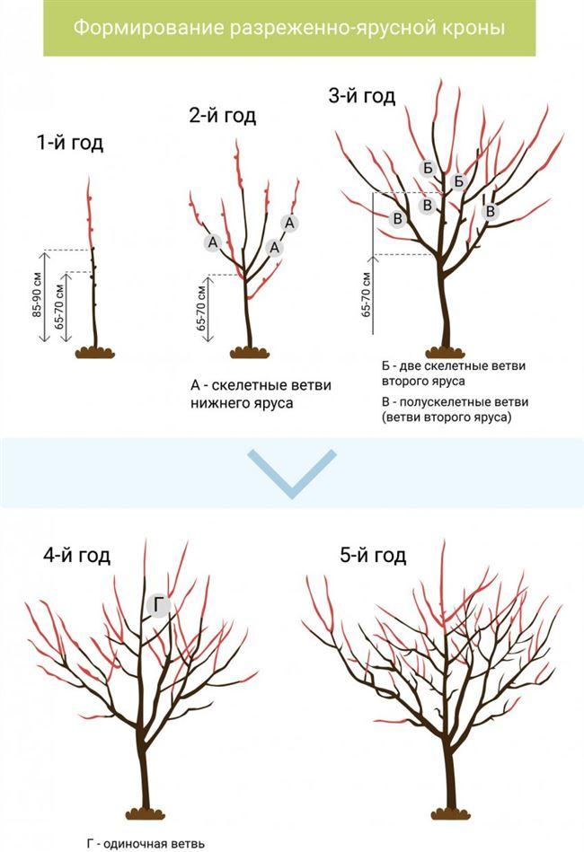 Обрезка и формирование кроны дерева