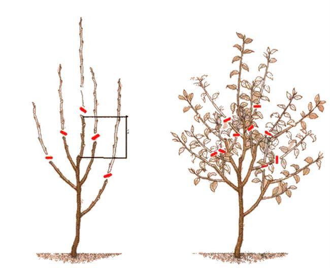 Обрезка и нормировка урожая