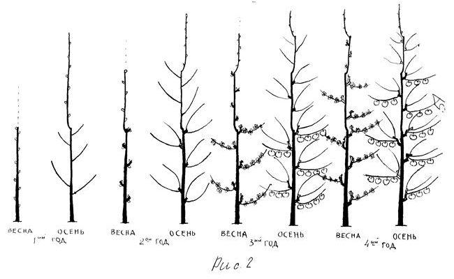 Обрезка колоновидной яблони: когда и как правильно ее делать