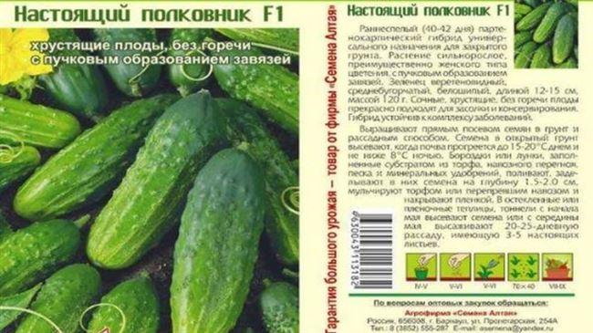 Очень вкусные и урожайные огурцы «Стелла»: знакомимся с сортом и пробуем вырастить сами