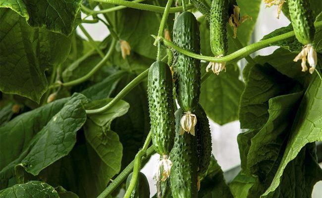 Огурцы Бинго: характеристика, урожайность, правила выращивания