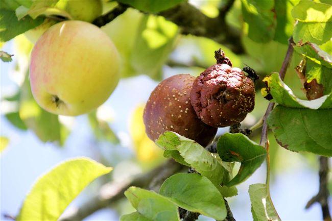 Опасность плодовой гнили для яблони
