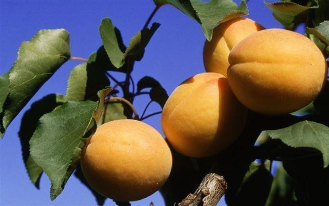 Описаниеманьчжурского абрикоса