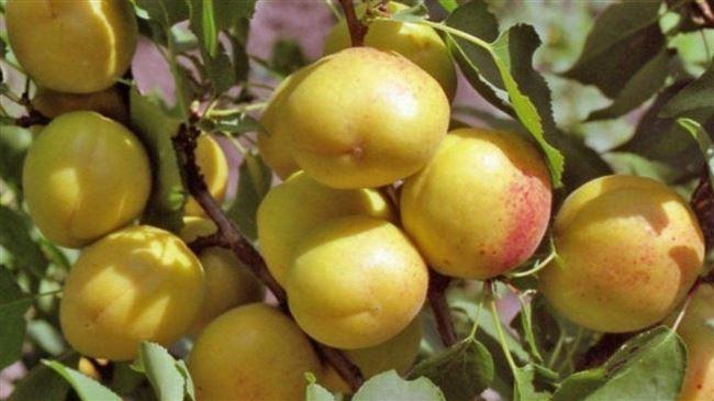Описание абрикоса сорта Айсберг