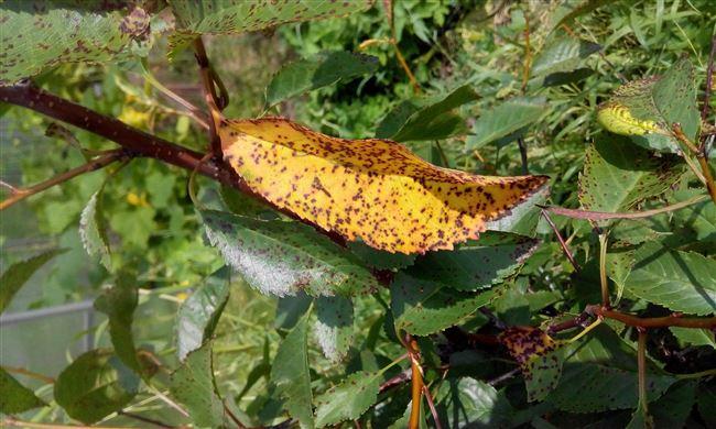 Описание болезни вишни «коккомикоз»