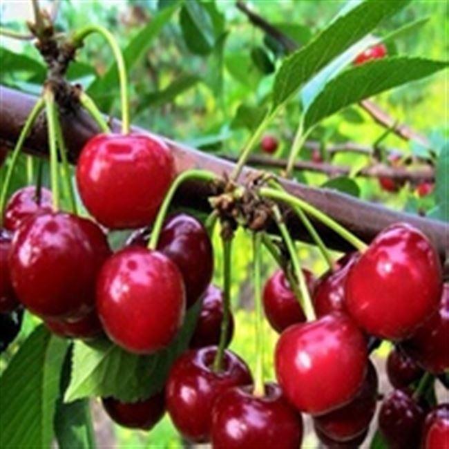 Описание дерева и ягод