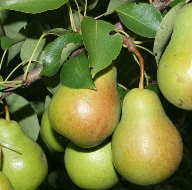 Описание груши сорта «Елена»: характеристики, фото, видео, отзывы садоводов
