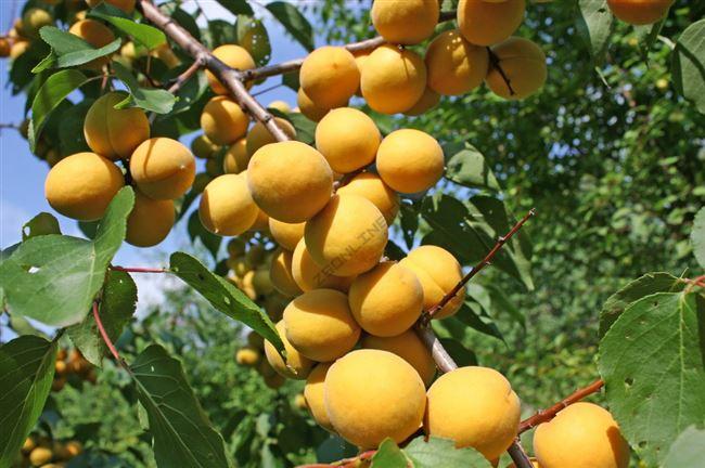 Описание и характеристика абрикоса Десертный