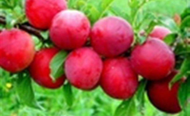 Описание и характеристика сорта китайской сливы Красный шар