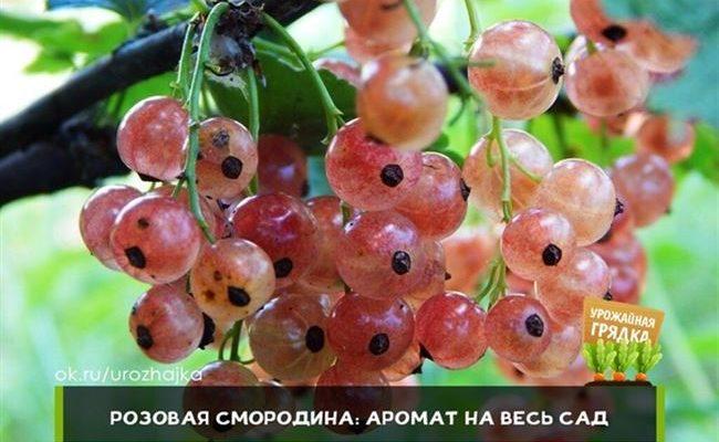 Описание и характеристики сортов розовой смородины, посадка и уход
