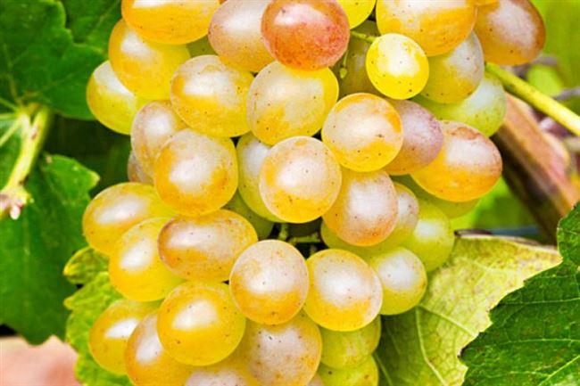 Описание ягод и гроздьев