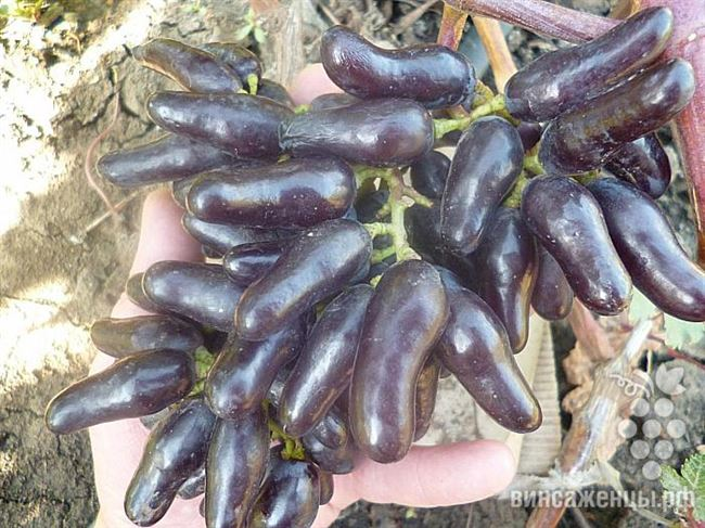 Описание характеристик винограда Карнавал