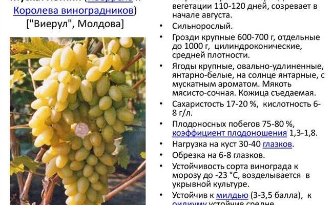 Описание мускатного винограда — какие бывают сорта?