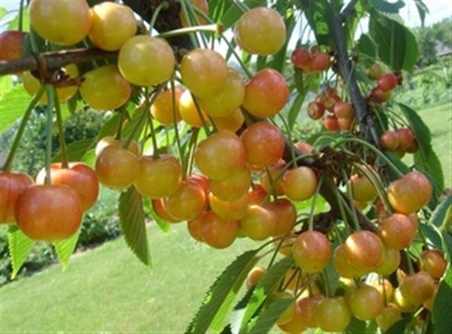 Описание плодов и дерева