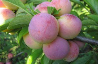 Описание сливы сорта Маньчжурская красавица, опылители и тонкости выращивания