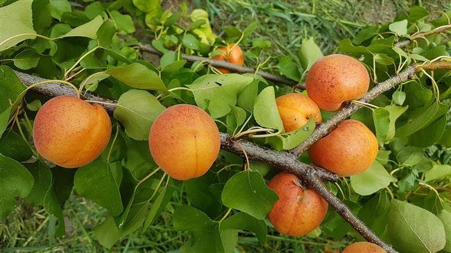 Описание сорта абрикоса Амурский