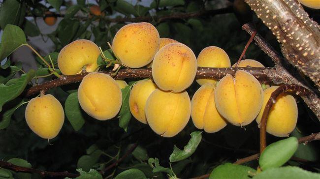 Описание сорта абрикоса Десертный