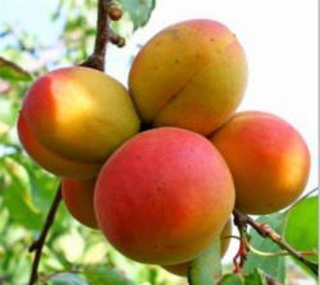 Описание сорта абрикоса Фаворит