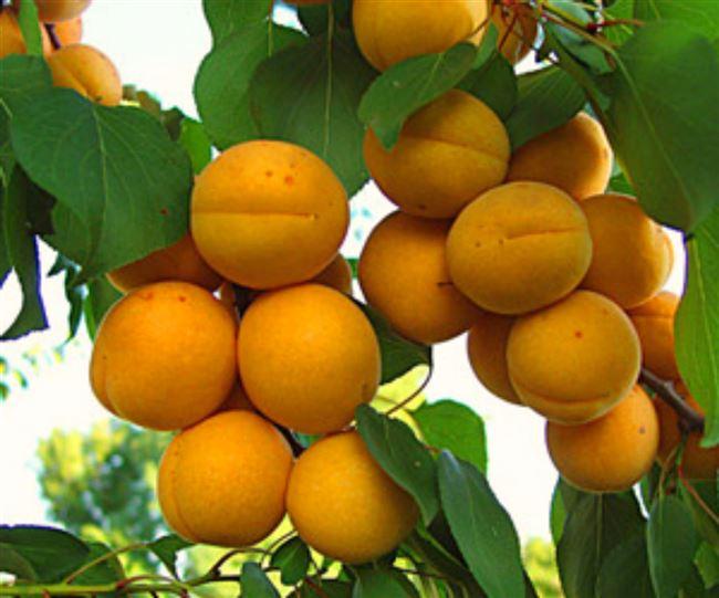 Описание сорта абрикоса Компотный