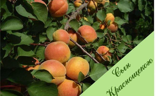 Описание сорта абрикоса Ульянихинский, характеристики урожайности и выращивание