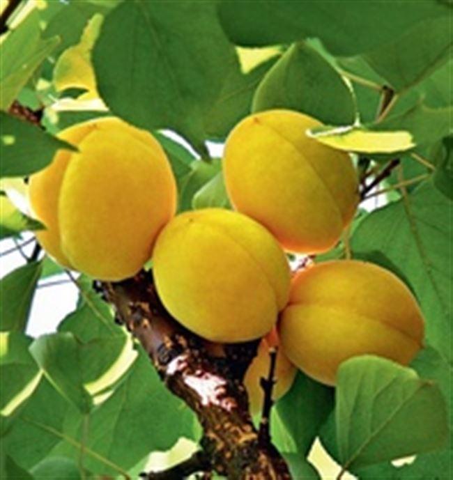 Описание сорта абрикоса Викинг