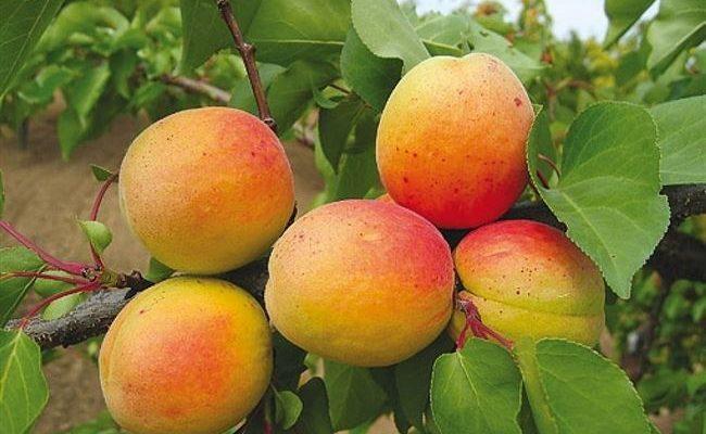 Описание сорта абрикосов Монастырский, выращивание, посадка и уход
