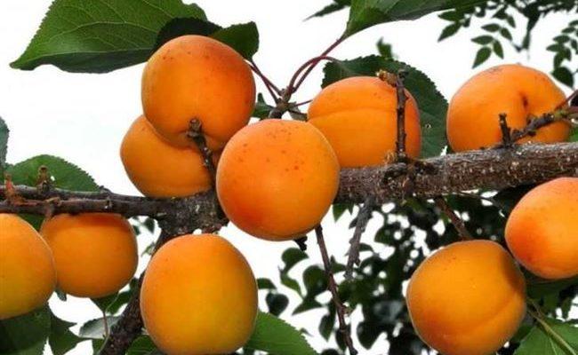 Описание сорта абрикосов Олимп, характеристики урожайности и выращивание