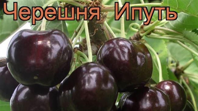 Описание сорта черешни Ипуть – опылители, урожайность, отзывы и фото
