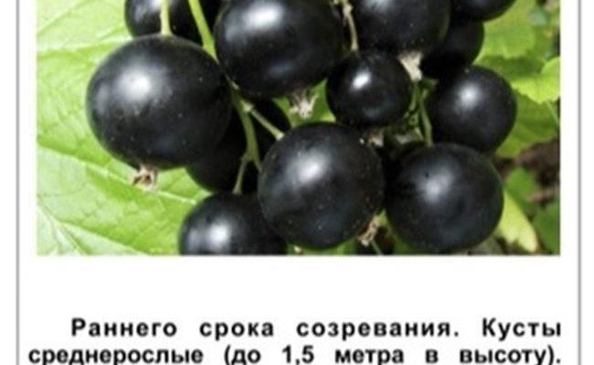 Описание сорта чёрной смородины Сибилла