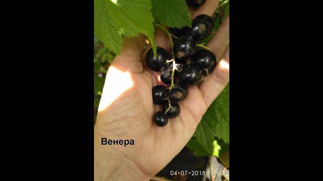 Описание сорта чёрной смородины Венера