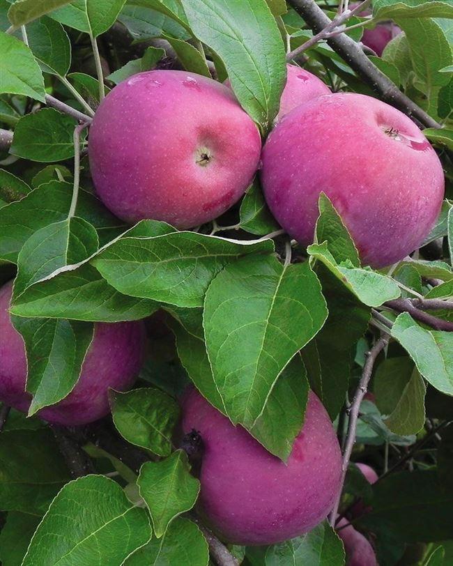 Описание сорта яблони Анис пурпуровый