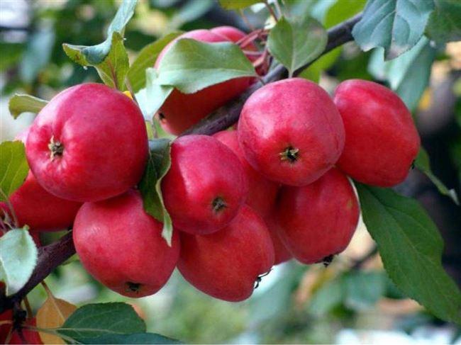 Описание сорта яблони Китайки Керр с фото