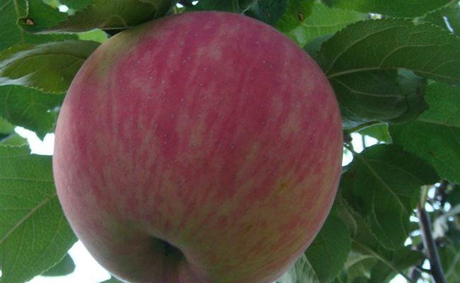 Описание сорта яблони Мельба, отзывы и фото, посадка и уход