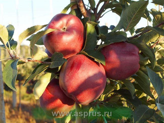 Описание сорта яблони Ред Чиф