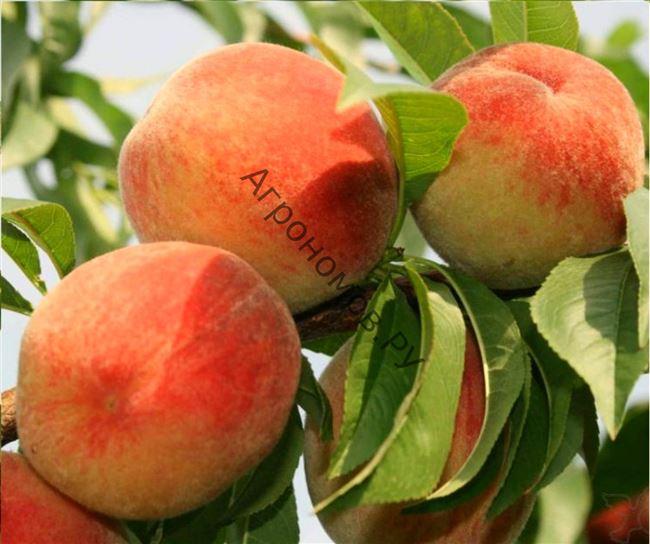 Описание сорта персика Золотая Москва
