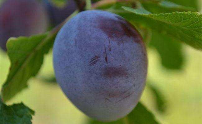 Описание сорта сливы Яичная синяя