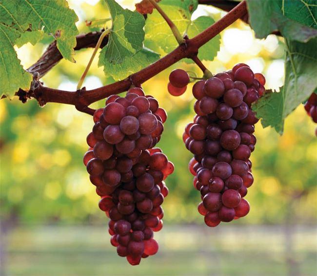 Описание сорта винограда Пино